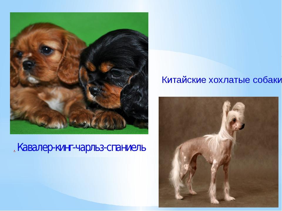 . Кавалер-кинг-чарльз-спаниель Китайские хохлатые собаки