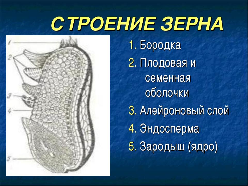 СТРОЕНИЕ ЗЕРНА 1. Бородка 2. Плодовая и семенная оболочки 3. Алейроновый сло...