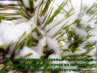 Все вечнозеленые деревья питательные вещества зимой получат из почвы, и этого