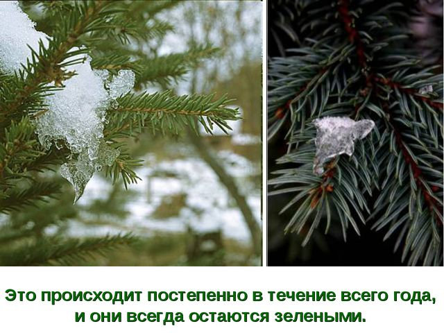 Это происходит постепенно в течение всего года, и они всегда остаются зелеными.