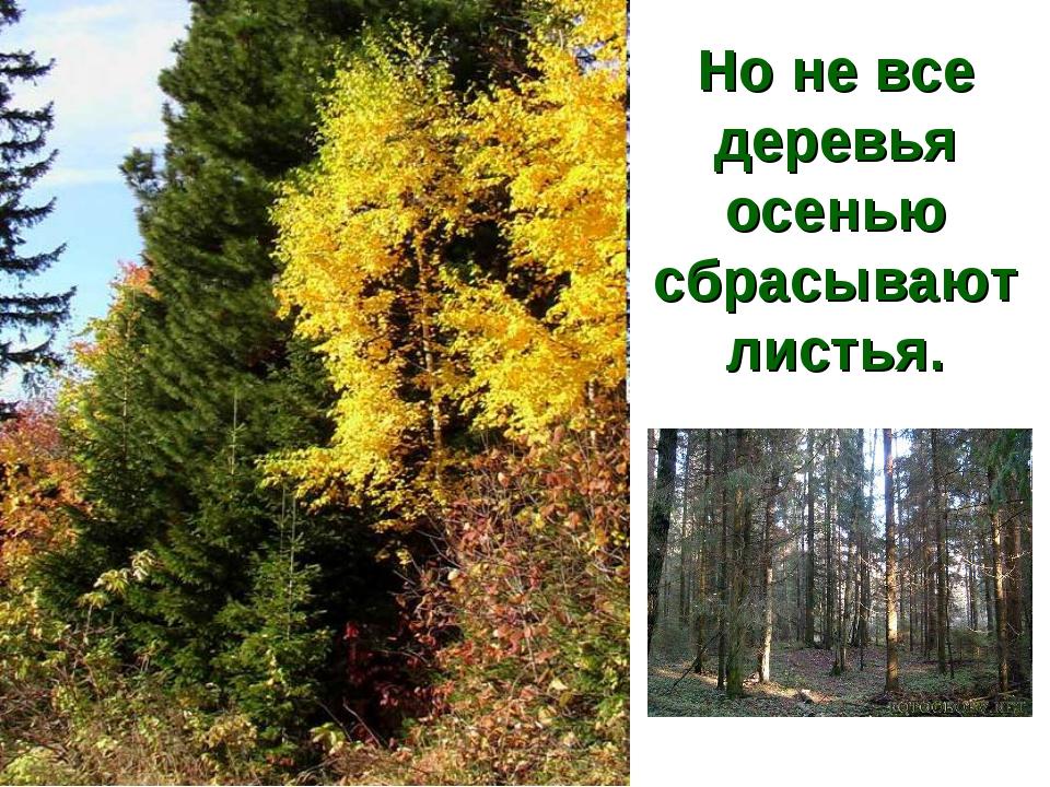 Но не все деревья осенью сбрасывают листья.