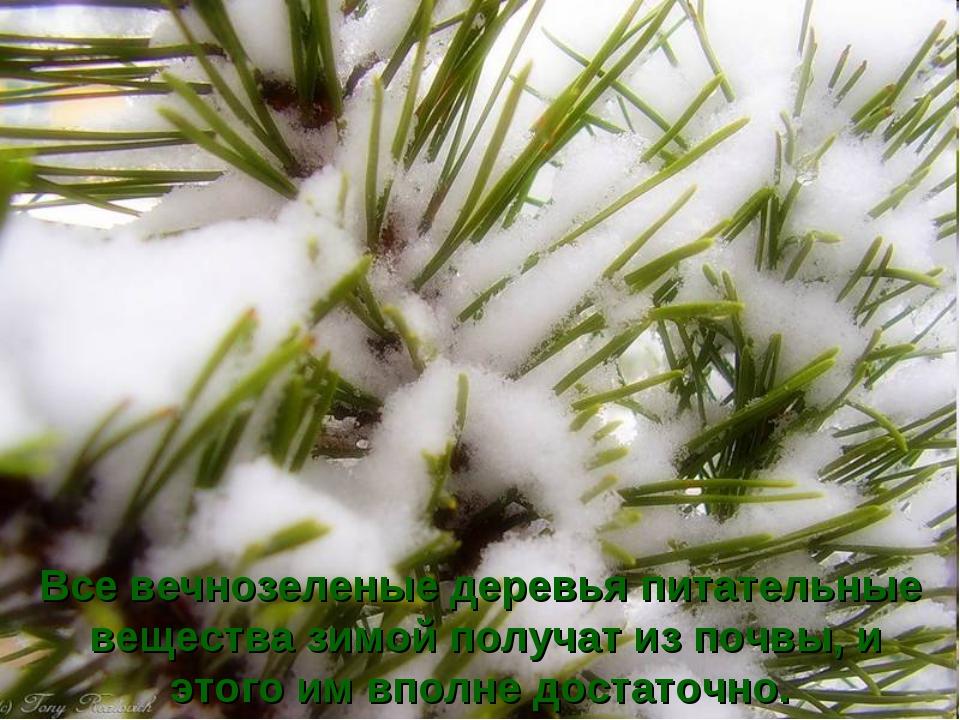 Все вечнозеленые деревья питательные вещества зимой получат из почвы, и этого...