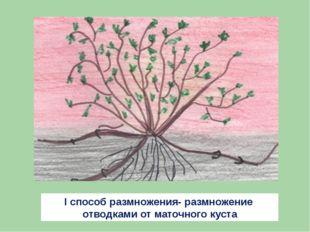 I способ размножения- размножение отводками от маточного куста