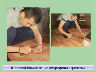 II способ.Размножение смородины черенками