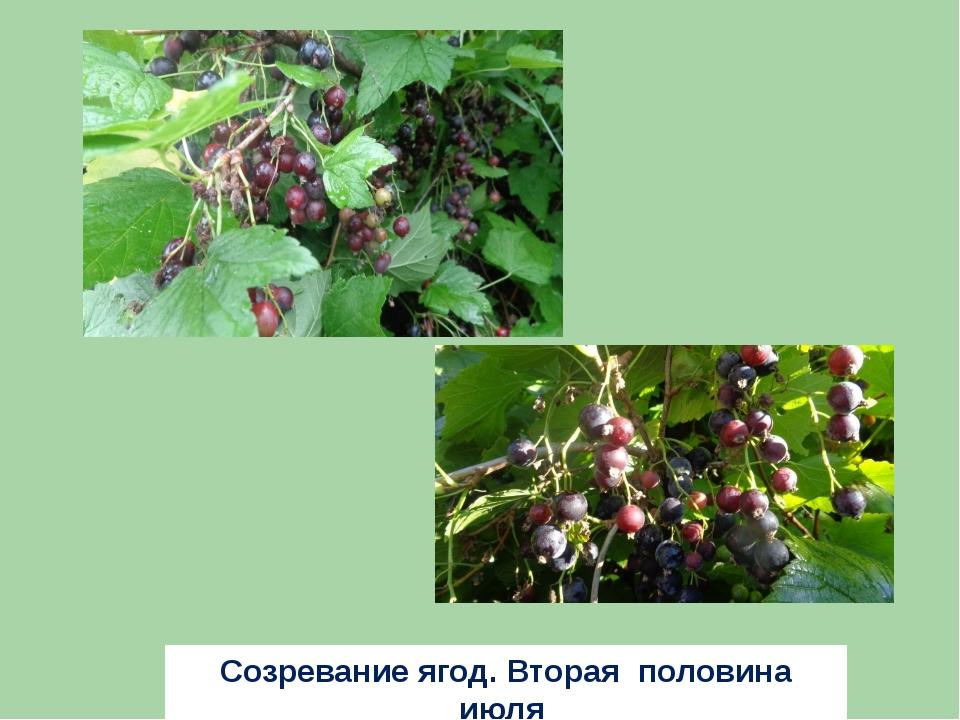 Созревание ягод. Вторая половина июля