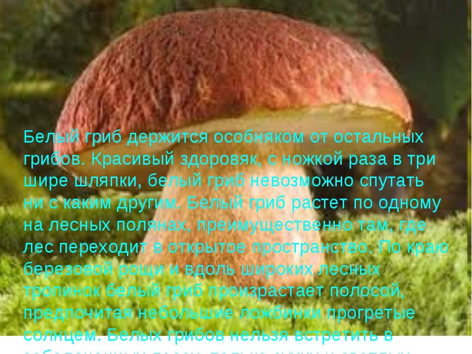 Белый гриб держится особняком от остальных грибов. Красивый здоровяк, с ножко...