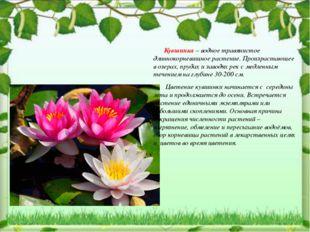 Кувшинка – водное травянистое длиннокорневищное растение. Произрастающее в о