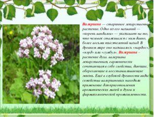 Валериана — старинное лекарственное растение. Одно из его названий — «корень