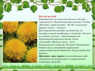 Василек русский Уязвимый вид, численность которого быстро сокращается. Травян