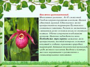 Башмачок крупноцветковый. Многолетнее растение , до 45 см высотой. Стебель по