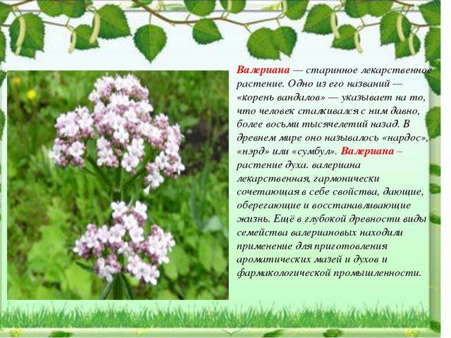 Валериана — старинное лекарственное растение. Одно из его названий — «корень...