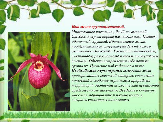 Башмачок крупноцветковый. Многолетнее растение , до 45 см высотой. Стебель по...