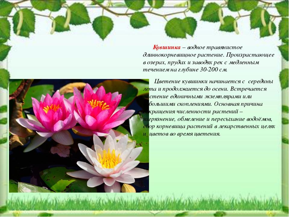 Кувшинка – водное травянистое длиннокорневищное растение. Произрастающее в о...