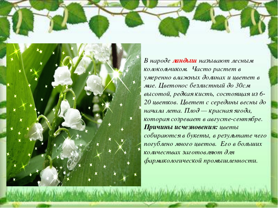 В народе ландыш называют лесным колокольчиком. Часто растет в умеренно влажн...