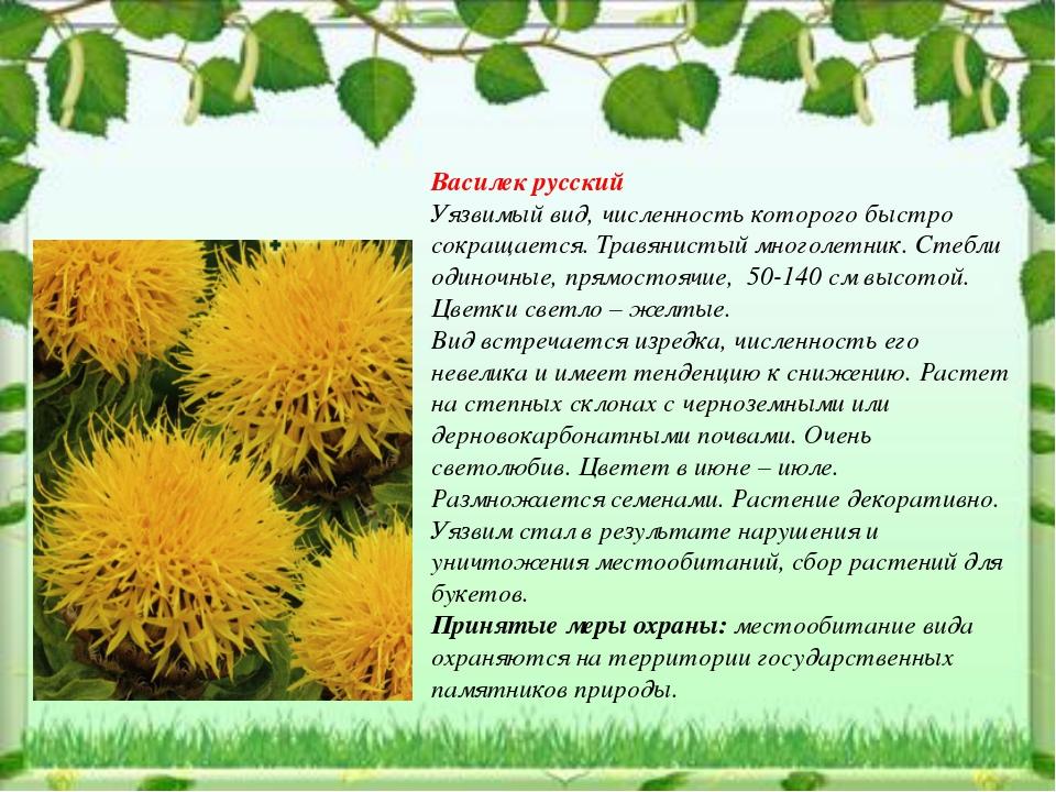 Василек русский Уязвимый вид, численность которого быстро сокращается. Травян...