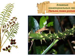 Влажные экваториальные леса Пальма-лиана ротанг