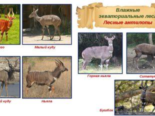 Влажные экваториальные леса Лесные антилопы Бонго Малый куду Большой куду Нья