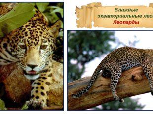 Влажные экваториальные леса Леопарды