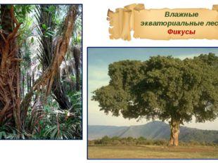Влажные экваториальные леса Фикусы