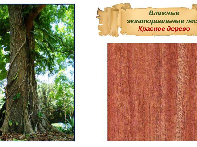 Влажные экваториальные леса Красное дерево