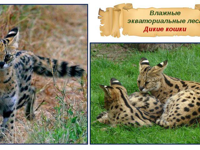 Влажные экваториальные леса Дикие кошки