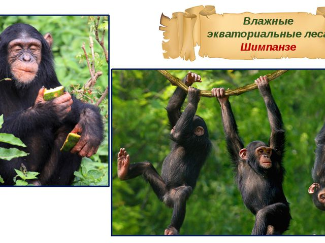 Влажные экваториальные леса Шимпанзе