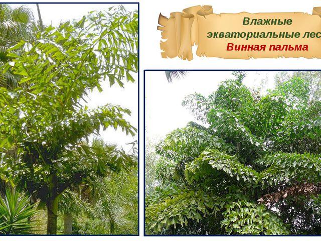 Влажные экваториальные леса Винная пальма