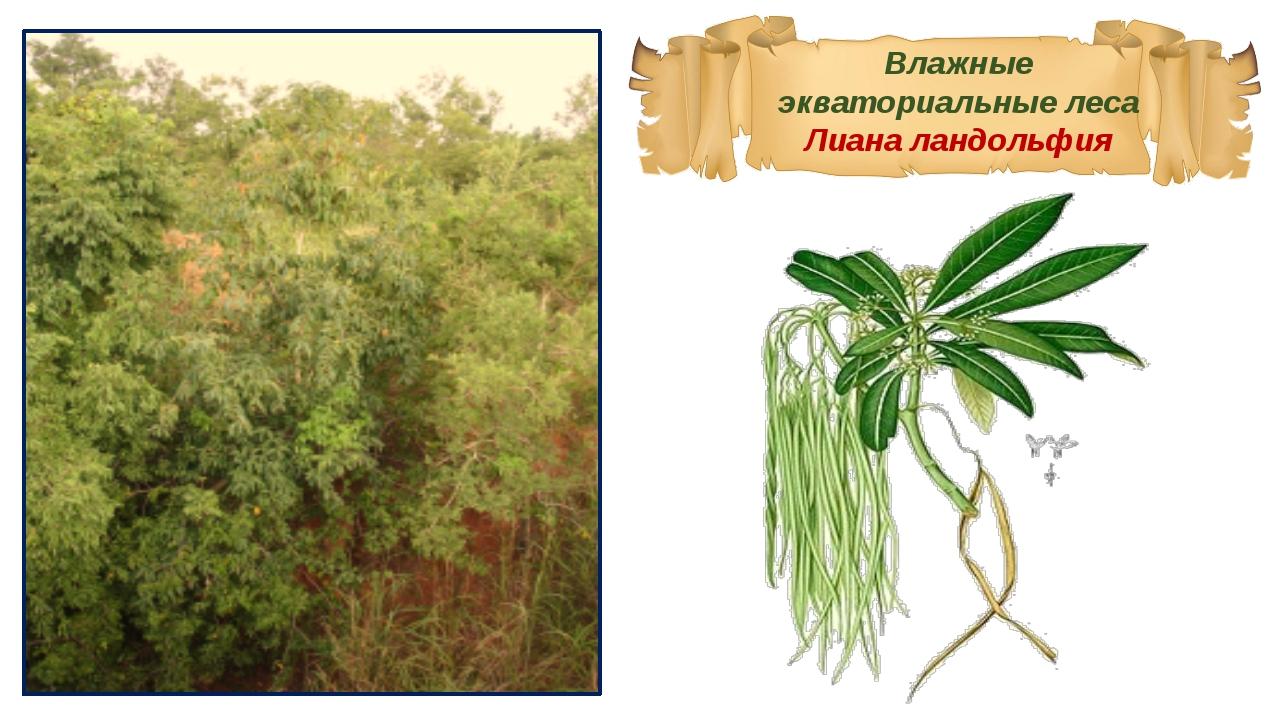 Влажные экваториальные леса Лиана ландольфия