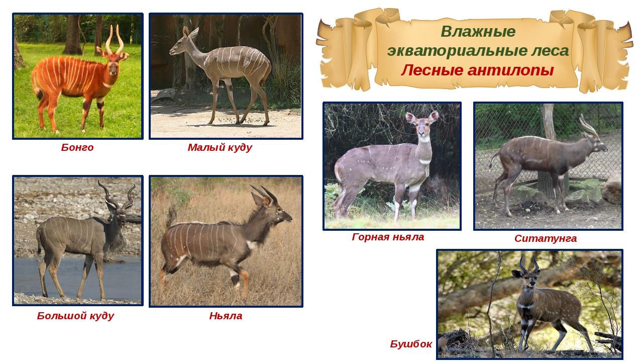 Влажные экваториальные леса Лесные антилопы Бонго Малый куду Большой куду Нья...