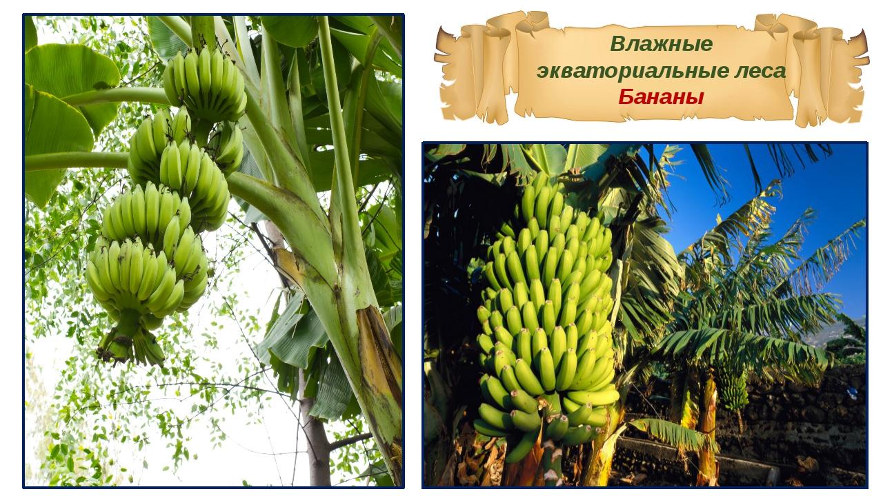 Влажные экваториальные леса Бананы