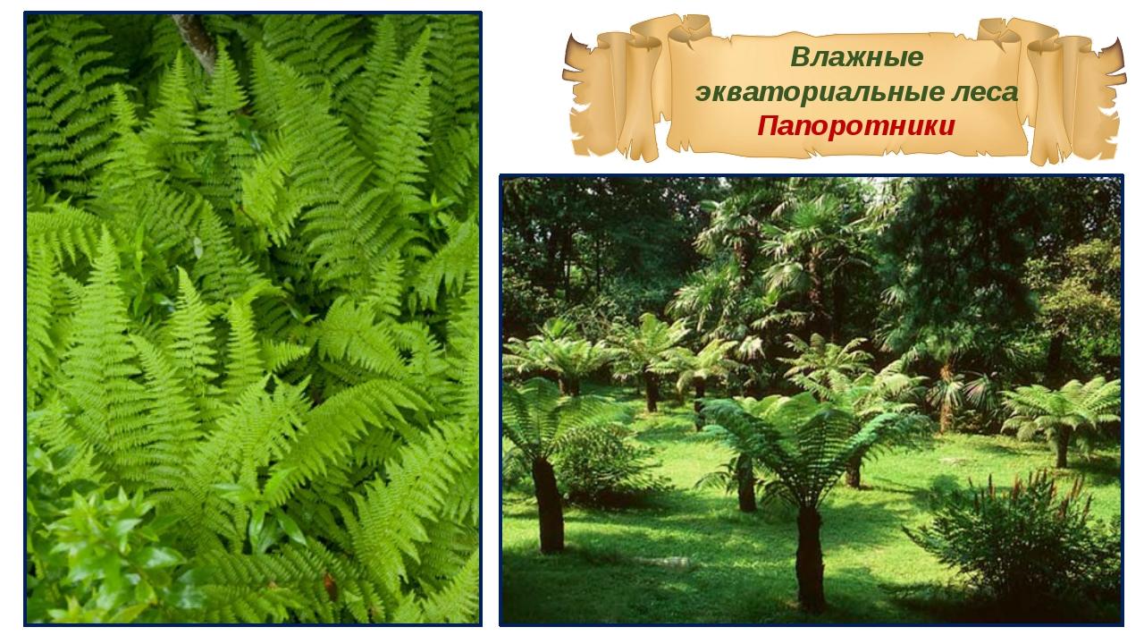 Влажные экваториальные леса Папоротники