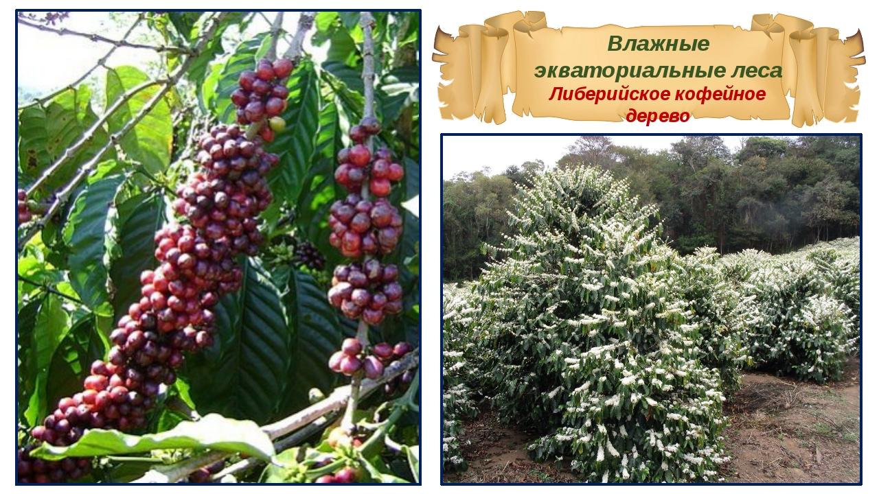Влажные экваториальные леса Либерийское кофейное дерево