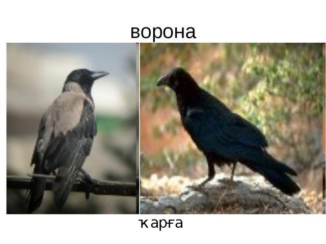 ворона ҡарға