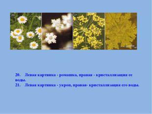 20. Левая картинка - ромашка, правая - кристаллизация ее воды. 21. Ле