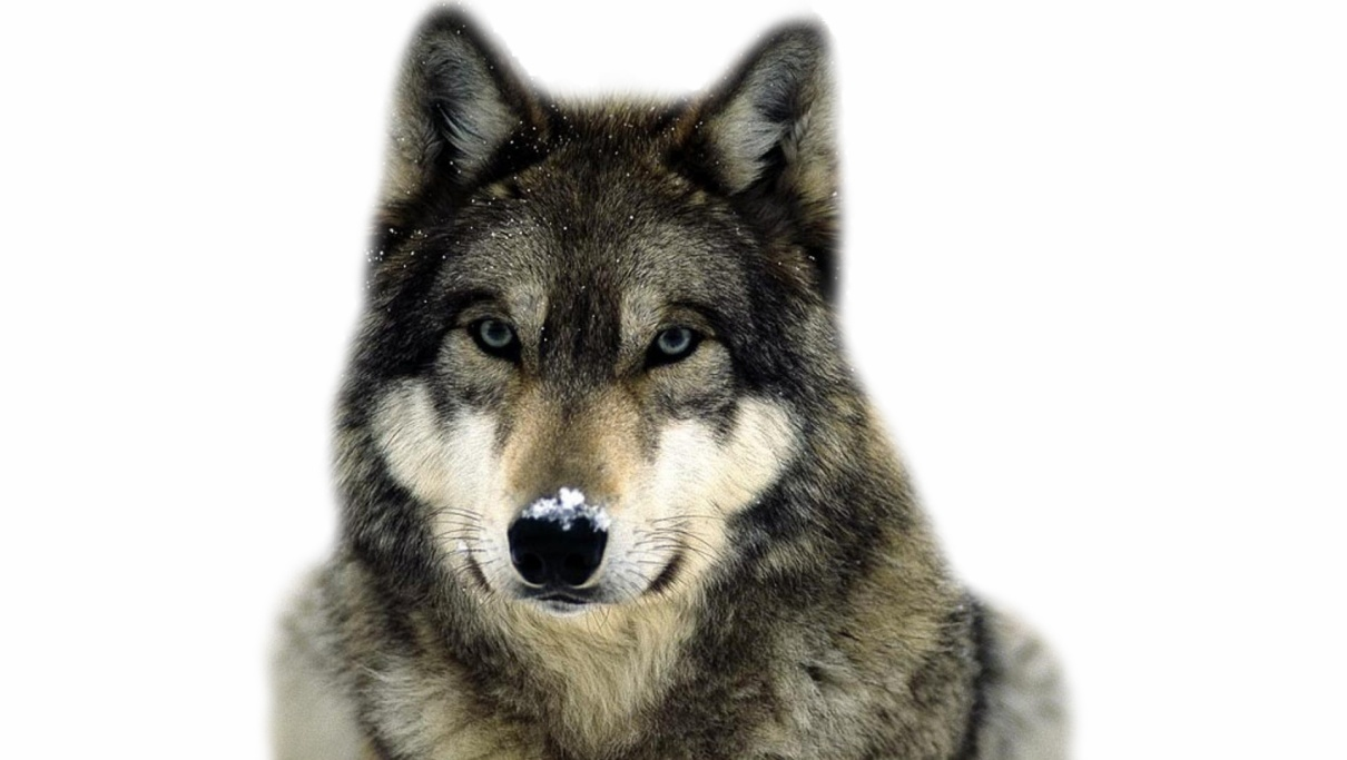 H:\вымершие\животные отредактированные\волк цвет.jpg