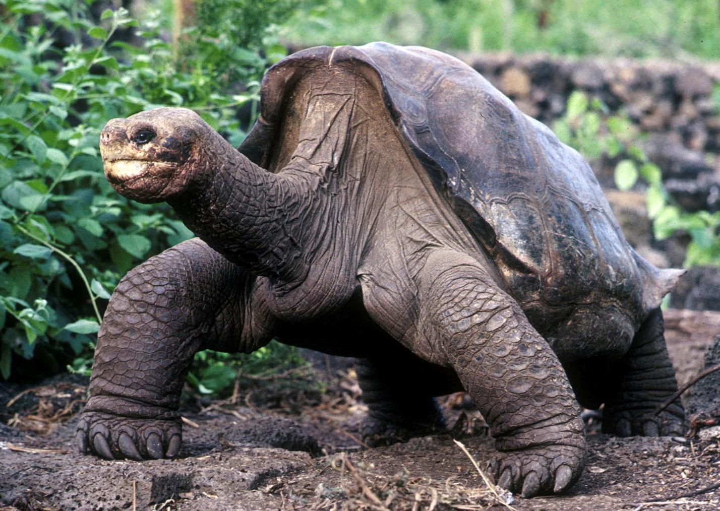 H:\вымершие\Uginuo-George-posljednji-od-vrste-kornjaca-Galapagosa.jpg