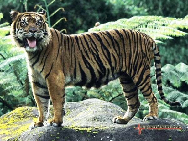H:\вымершие\явайский тигр.jpg