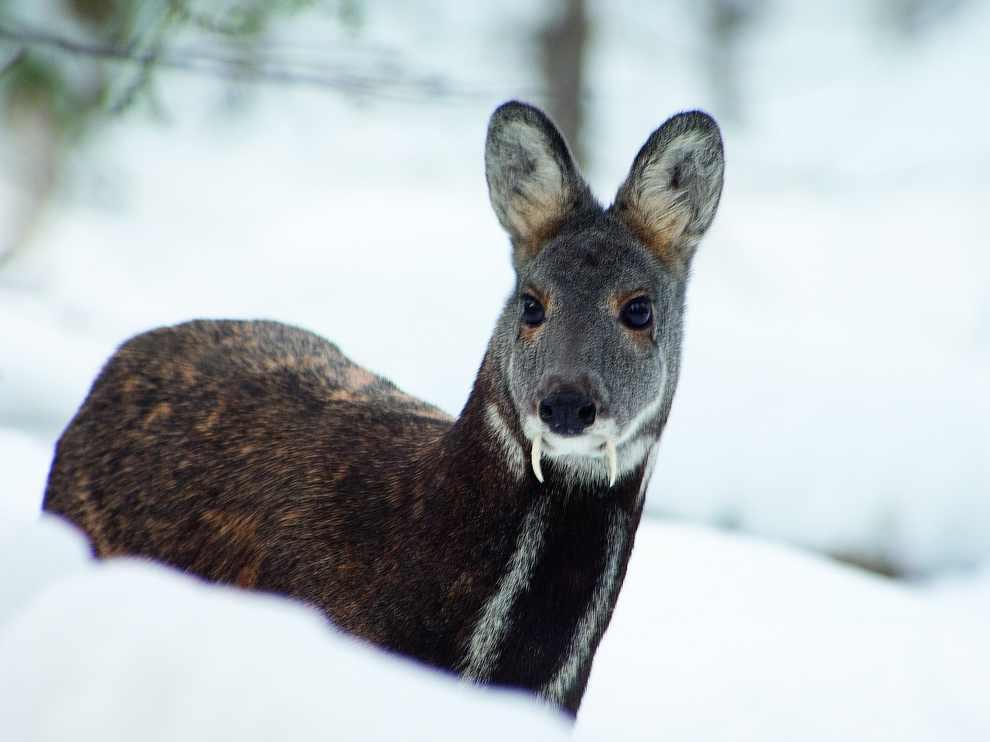 Ягоды годжи олень с клыками фото Худеем вместе!