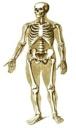 скелет спереди