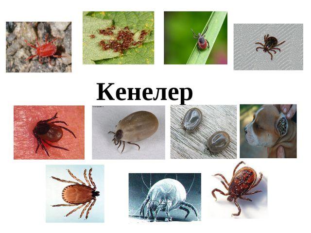 Кенелер