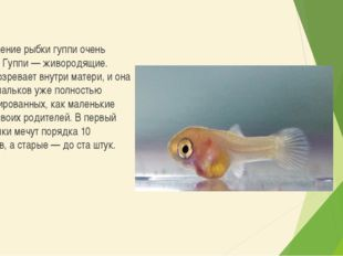 Разведение рыбки гуппи очень просто. Гуппи — живородящие. Икра созревает внут