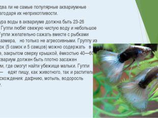 Гуппи – едва ли не самые популярные аквариумные рыбки, благодаря их неприхотл