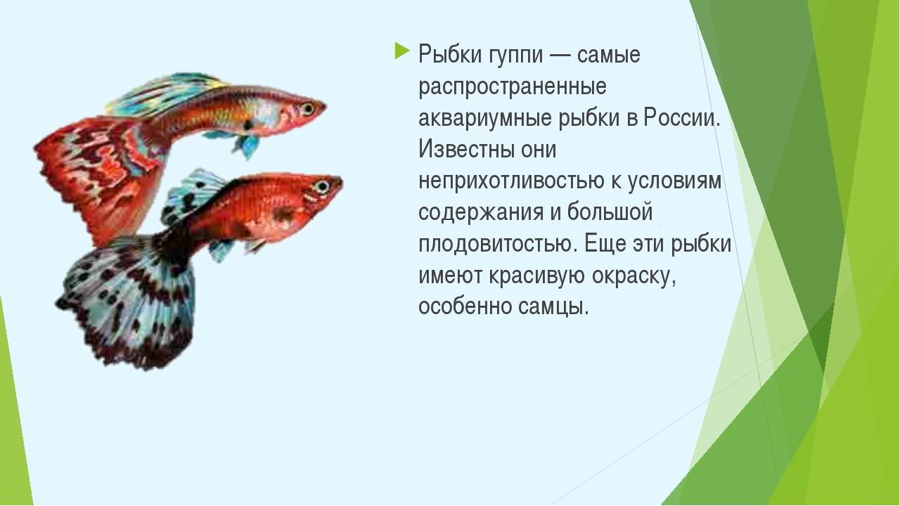 Рыбки гуппи — самые распространенные аквариумные рыбки в России. Известны они...