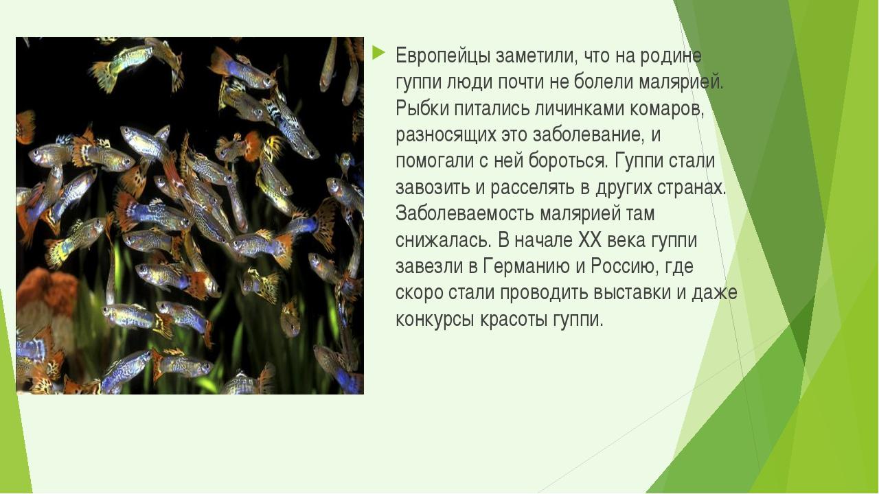 Европейцы заметили, что на родине гуппи люди почти не болели малярией. Рыбки...