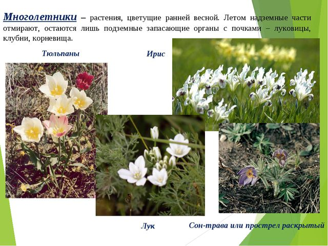 Многолетники – растения, цветущие ранней весной. Летом надземные части отмира...
