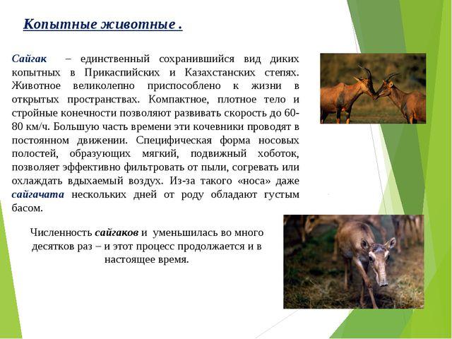 Копытные животные . Численность сайгаков и уменьшилась во много десятков раз...