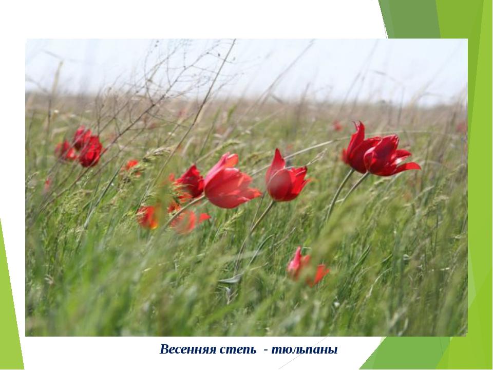 Весенняя степь - тюльпаны