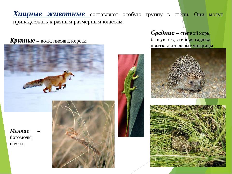 Хищные животные составляют особую группу в степи. Они могут принадлежать к ра...