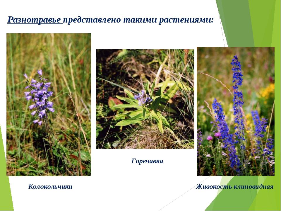 Разнотравье представлено такими растениями: Колокольчики Горечавка Живокость...