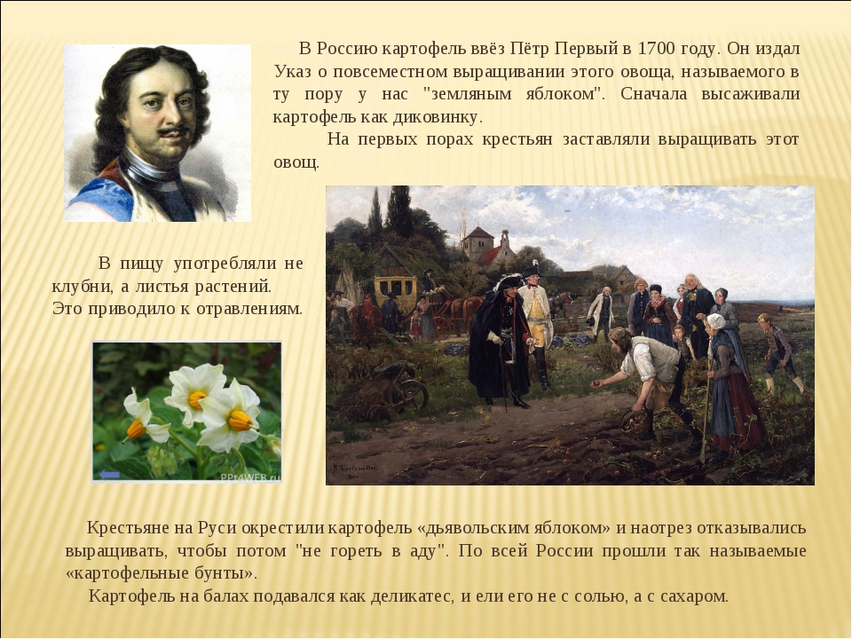 В Россию картофель ввёз Пётр Первый в 1700 году. Он издал Указ о повсеместно...
